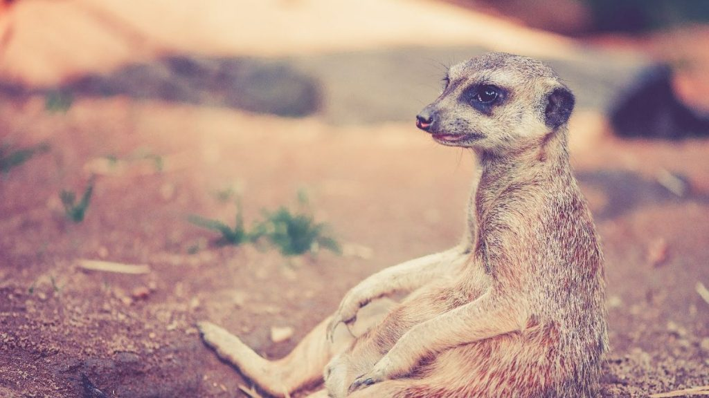 meerkat sitting on ground photo