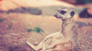 meerkat sitting on ground photo